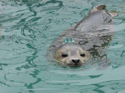 Znacznik głowowy u foki pospolitej, źródło